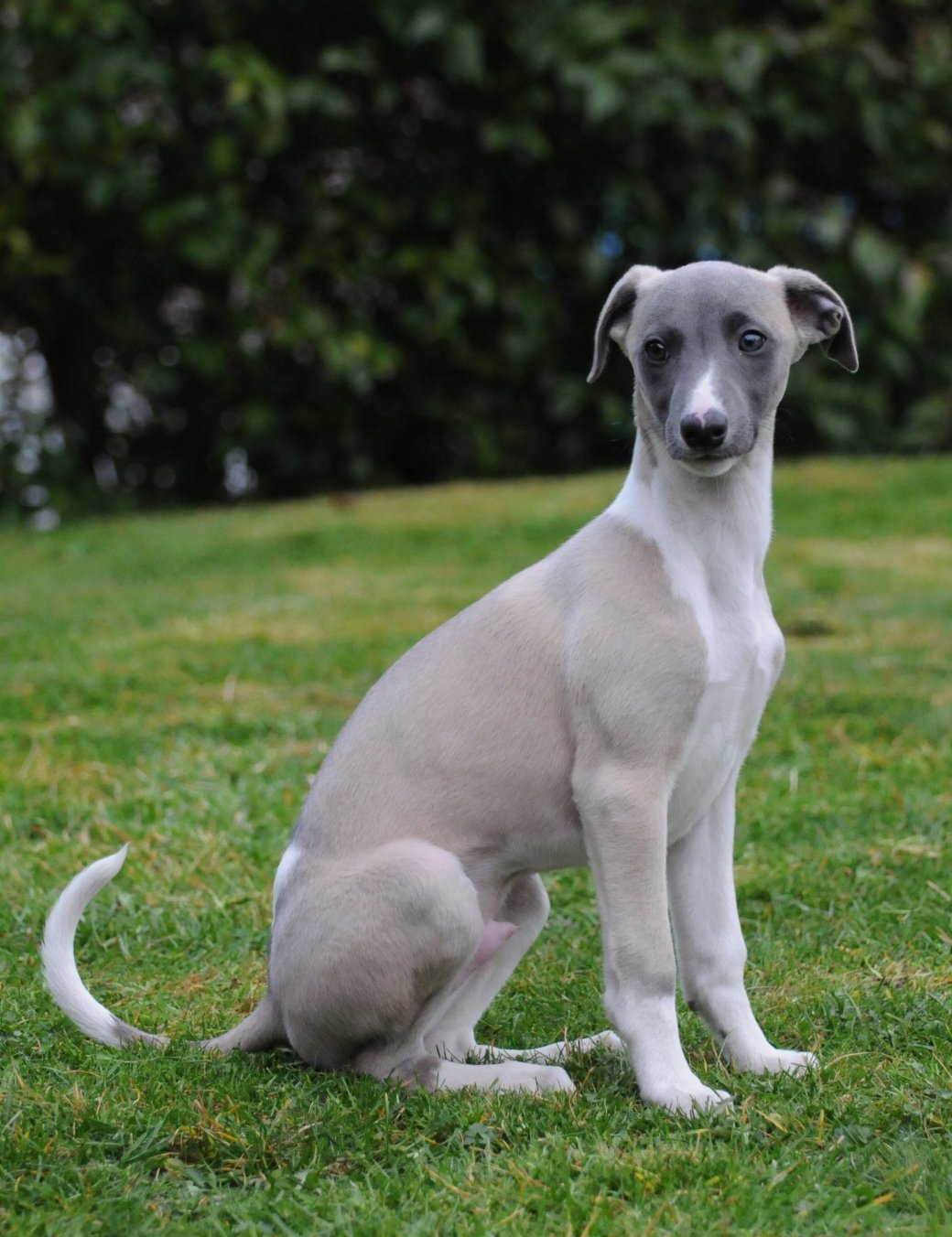 Maverick_the_Whippet