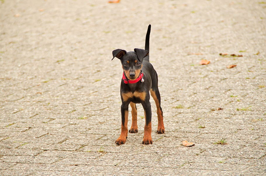 miniature-pinscher-cute-dog-animal