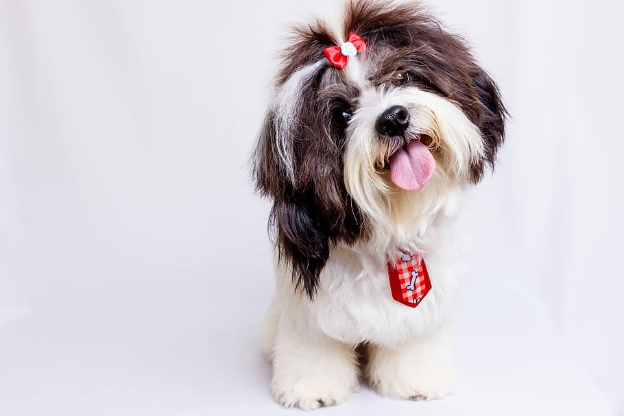 pet-dog-tongue-out-shih-tzu