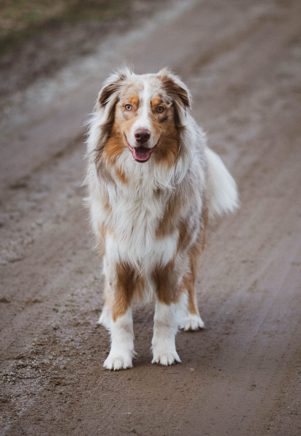 picture-of-an-australian-shepherd-2326936