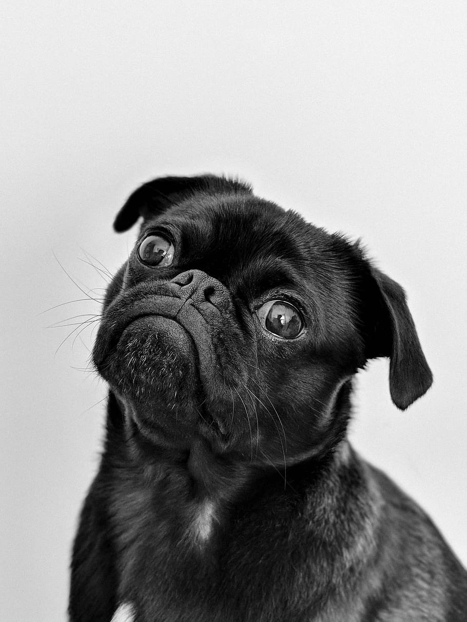 pug-dog-puppy-animal