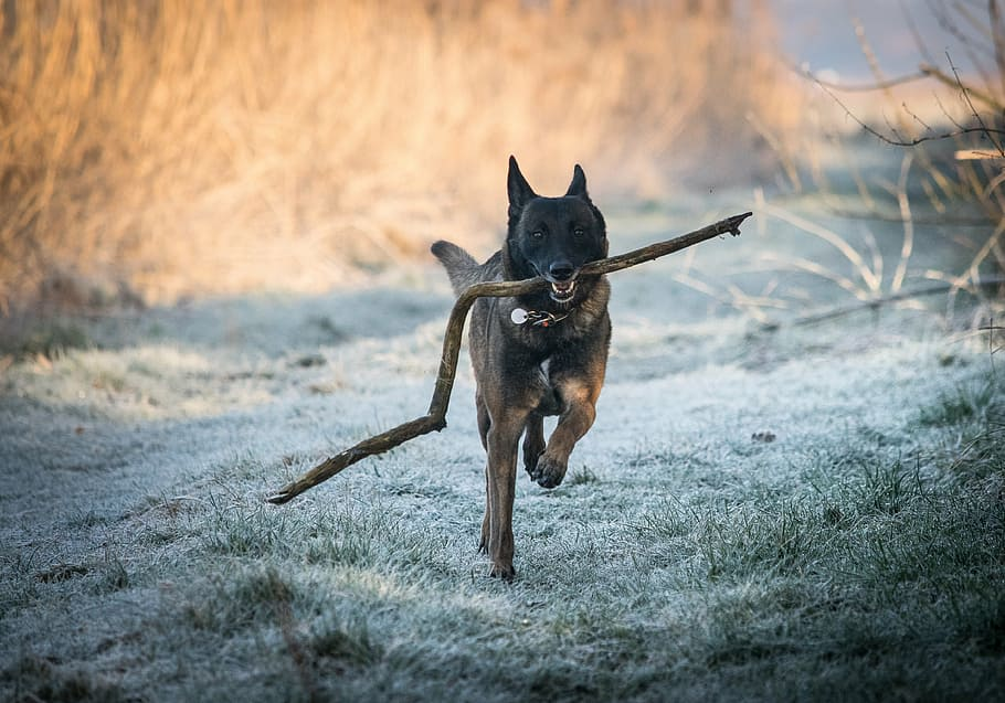 race-malinois-belgian-shepherd-dog-dog-run