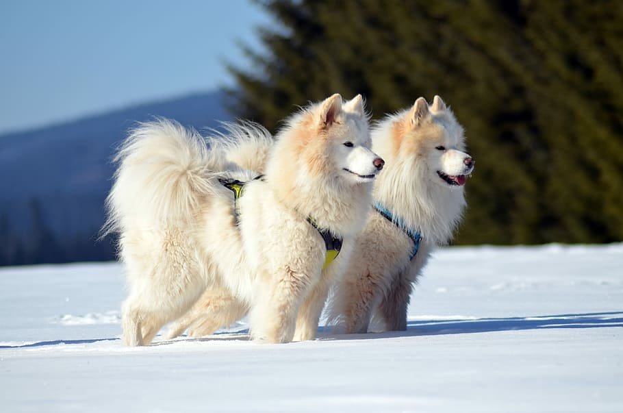 samoyed-dog-sled-dog-animal