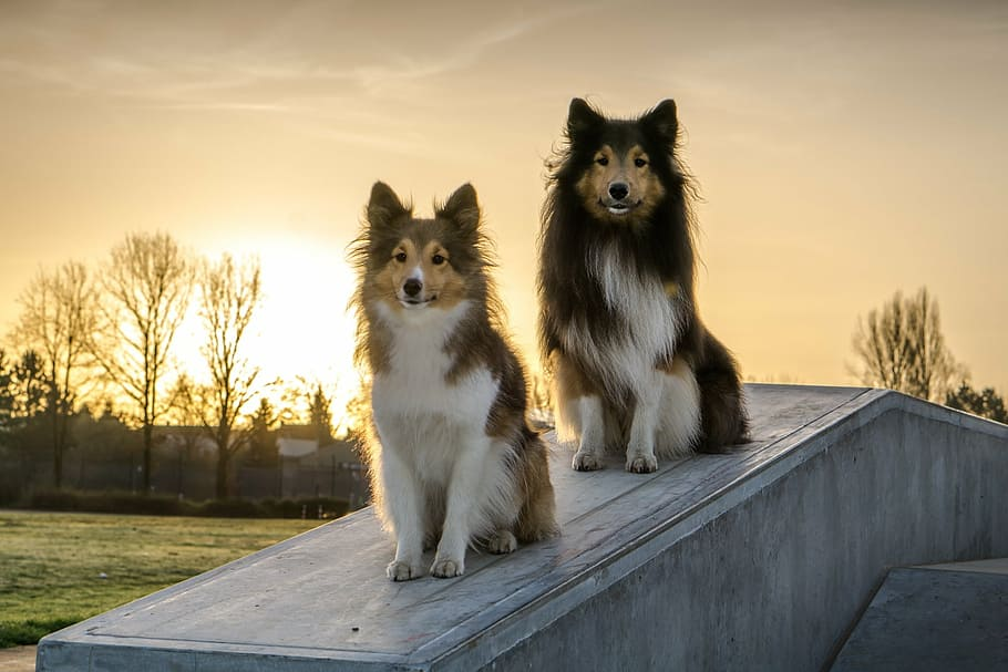 shelties-dogs-concrete-sunrise