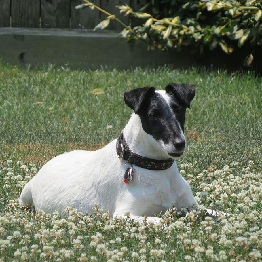 smooth-fox-terrier-dog-animal-cute