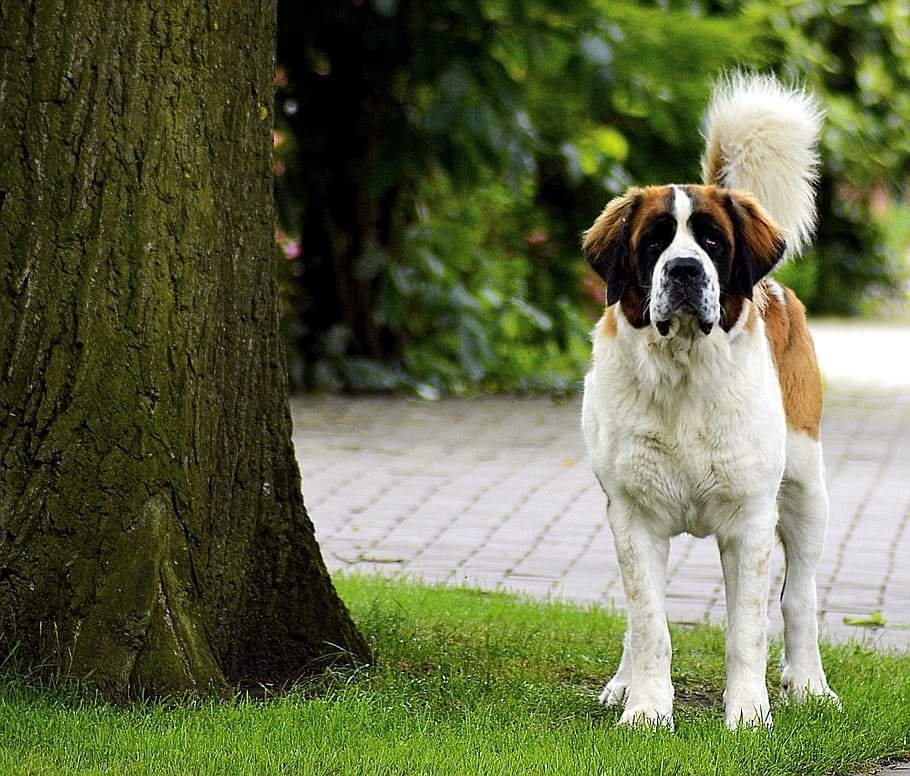 st-bernard-vigilant-dog-cute