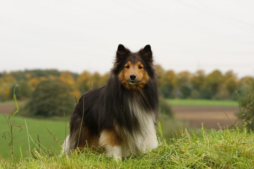 standing-close-sheltie-meadow-dog-wallpaper-preview