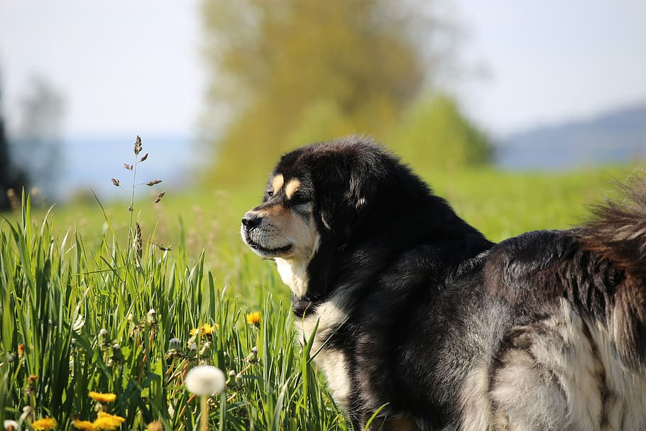 switzerland-weinfelden-do-khyi-dog