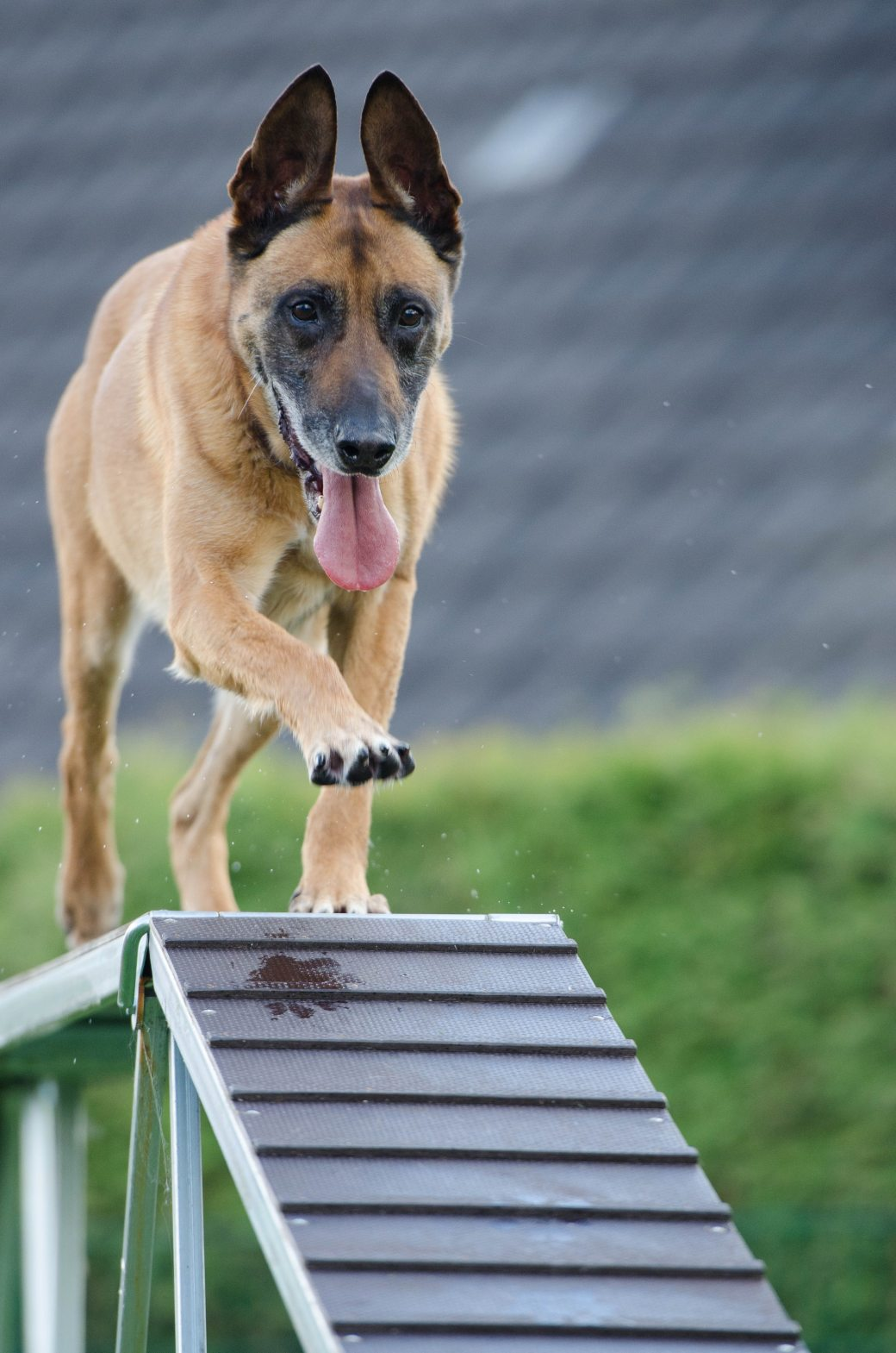 agility-animal-blur-canine-260440