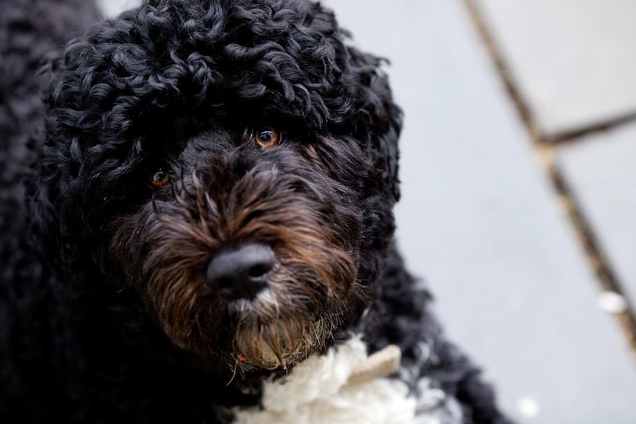 bo-obama-family-dog-march-2010-portuguese-water-dog