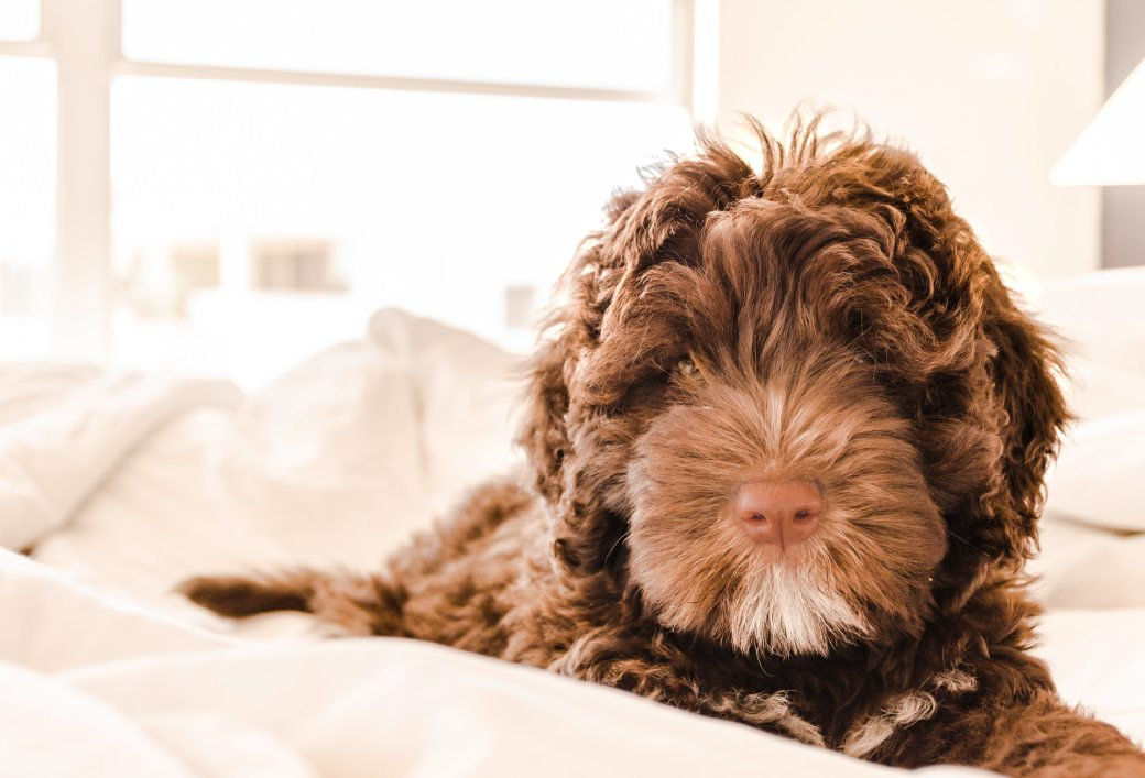 brown-and-white-portuguese-water-dog-puppy-668004