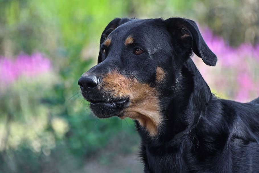 dog-beauceron-portrait-animal
