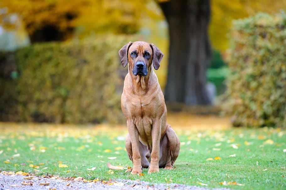 dog-bestfriend-cute-rhodesian-ridgeback