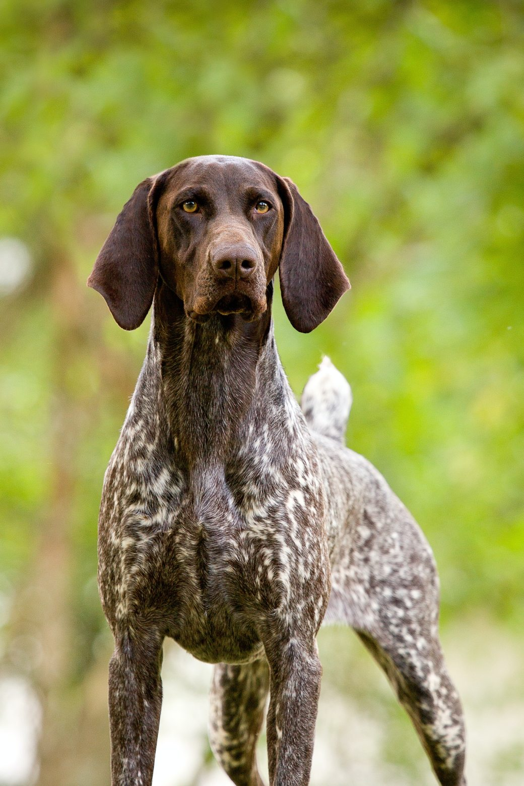 german-shorthaired-pointer-1647190