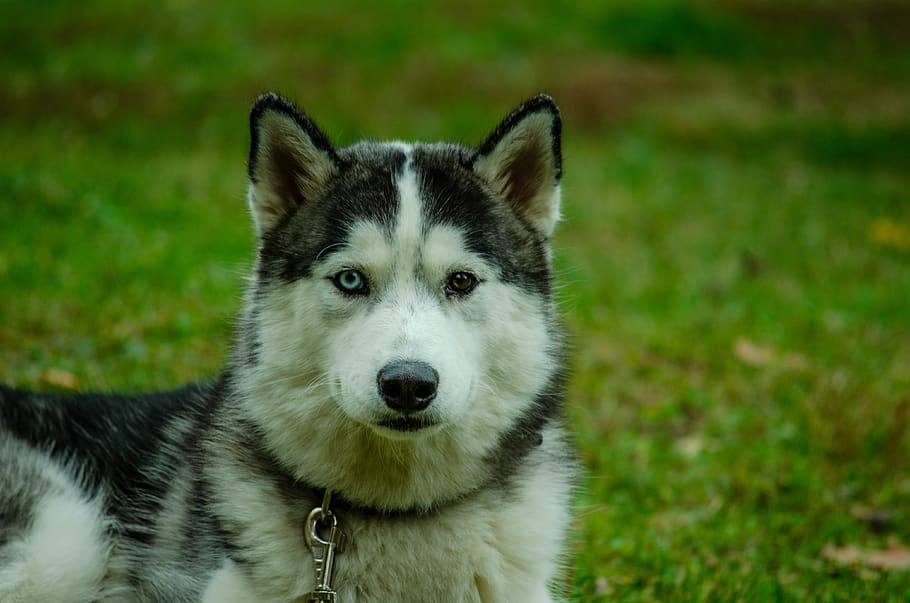 dog-laika-animals-husky
