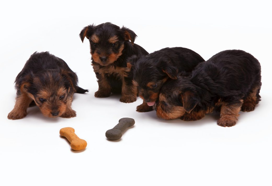 black-and-tan-yorkshire-terrier-puppy-230785