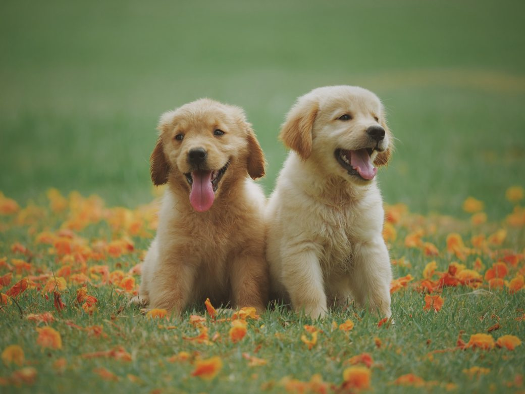two-yellow-labrador-retriever-puppies-1108099