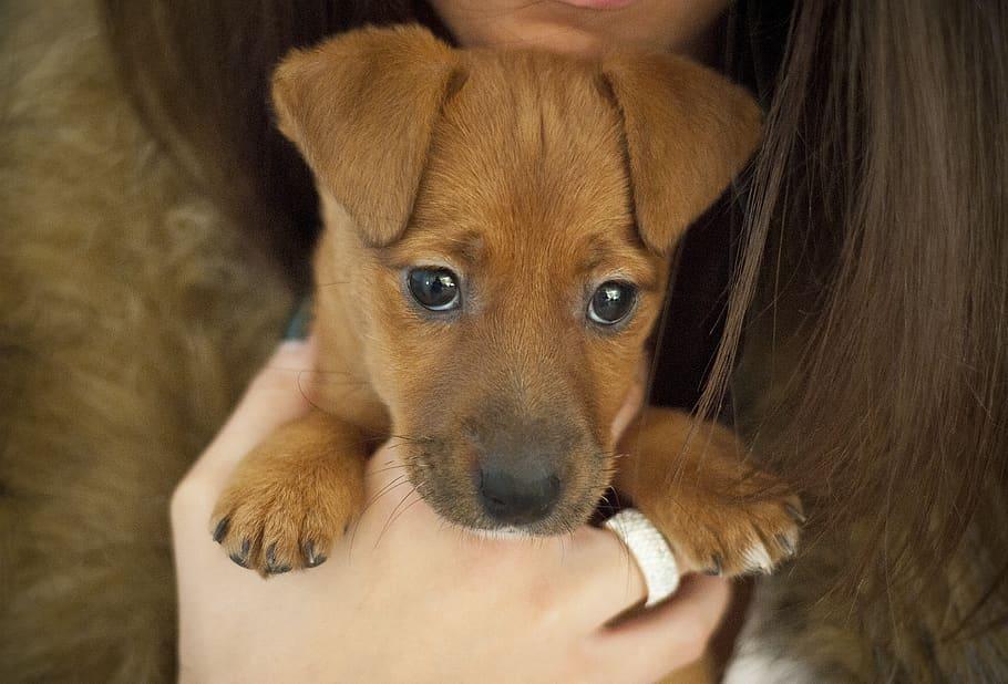 beautiful-small-dog-ginger-dog-brown-dog