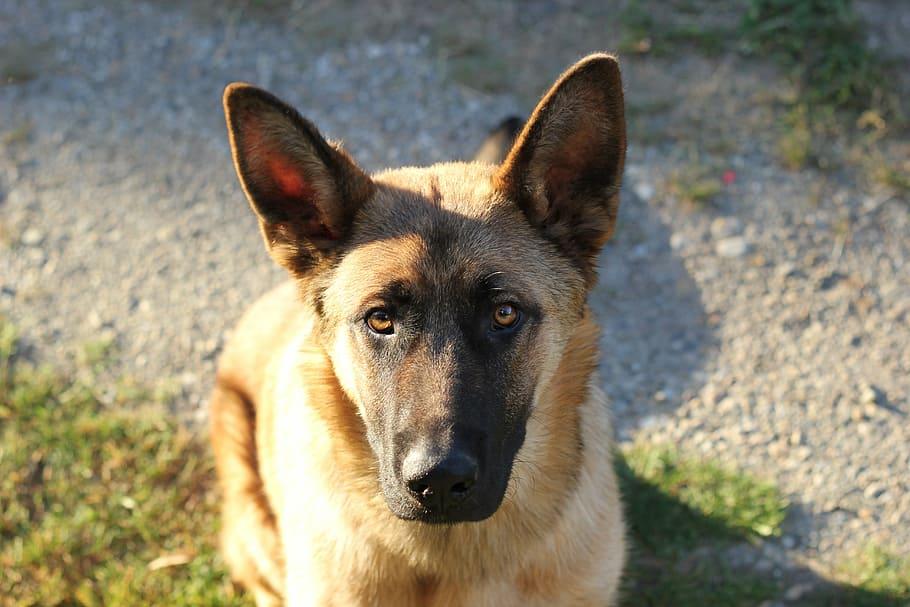 belgian-sheepdog-pet-dog