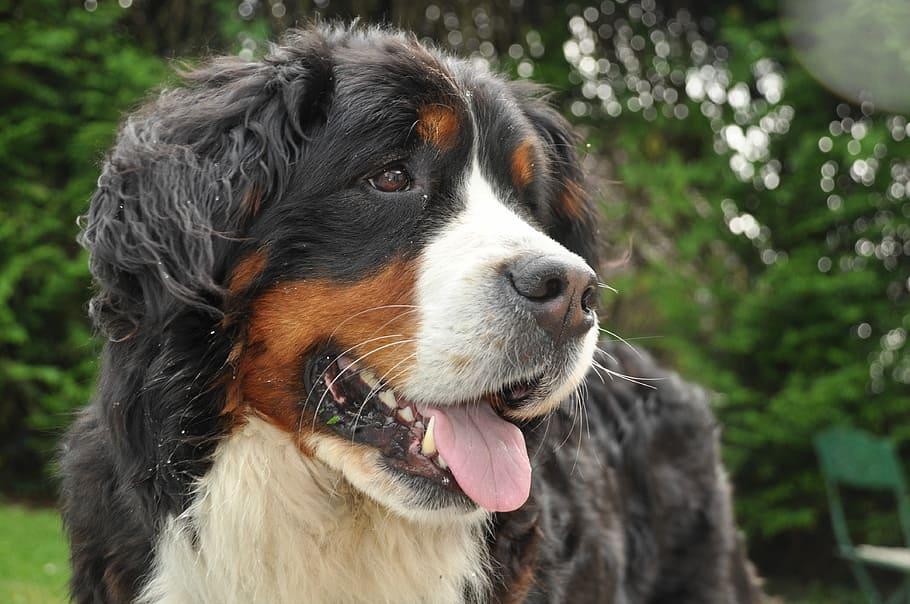 bernese-mountain-dog-dog-field-animal