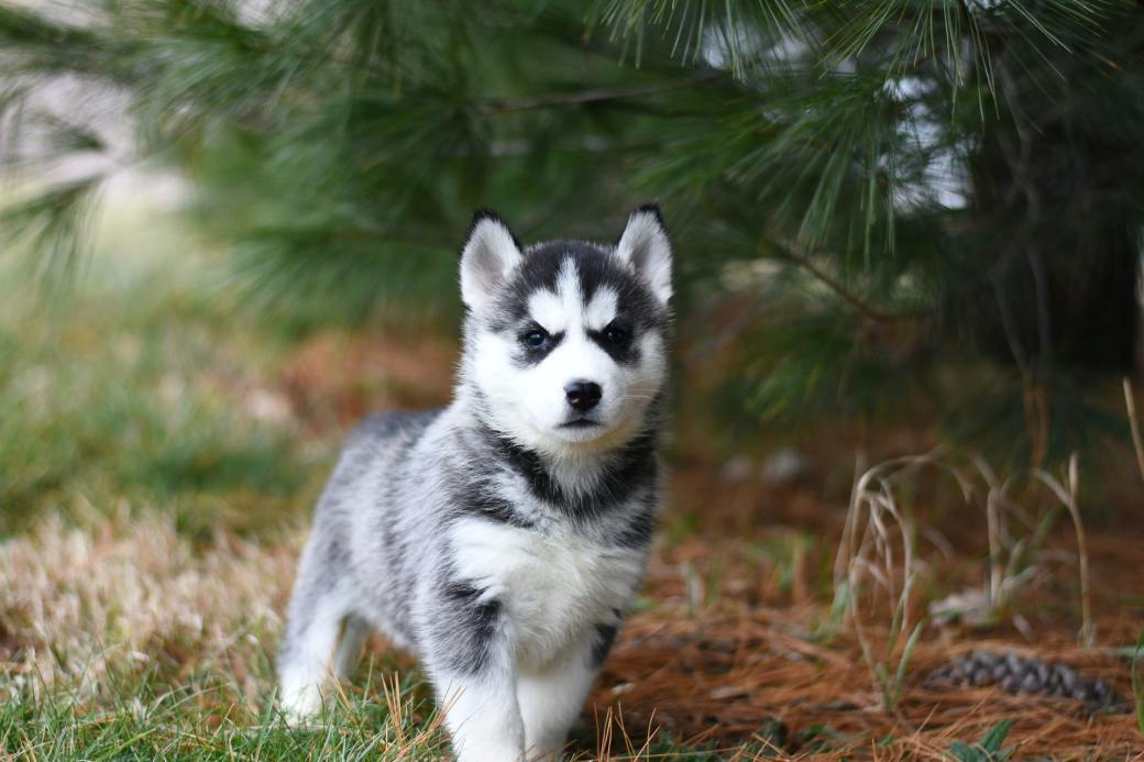 black-and-white-siberian-husky-puppy-on-brown-grass-field-3726314