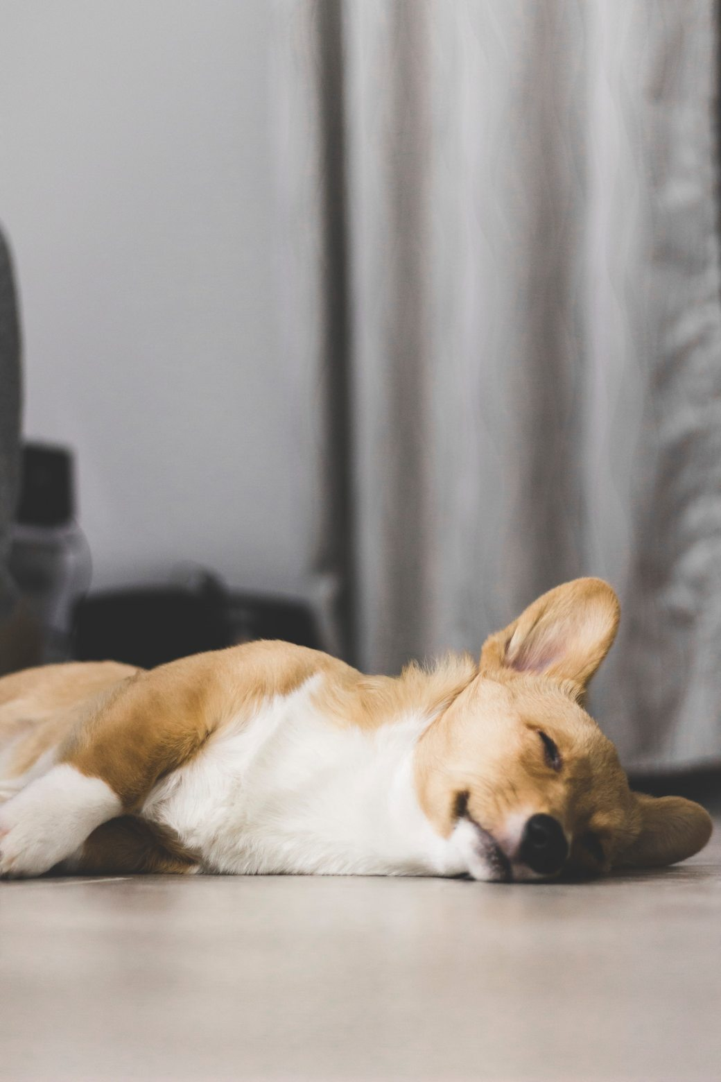brown-and-white-corgi-laying-on-the-floor-1714454