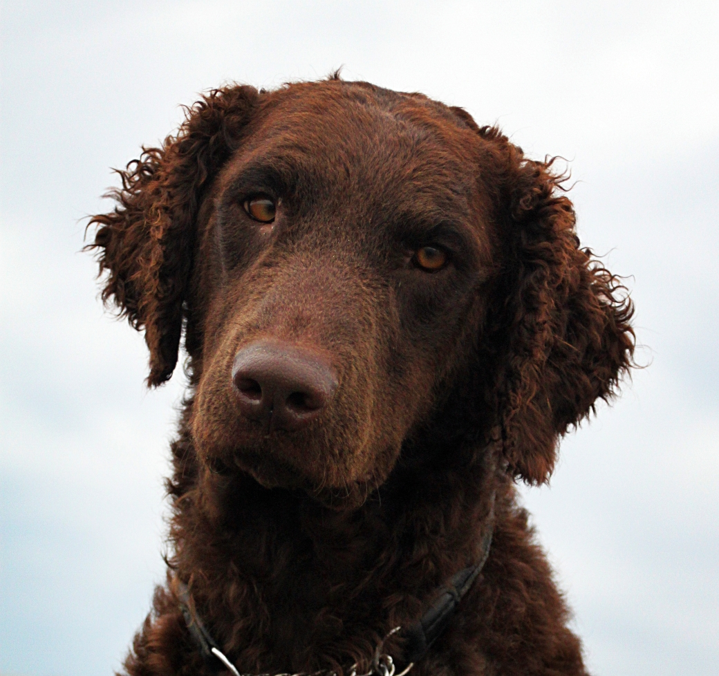 Curly_coated_retriever