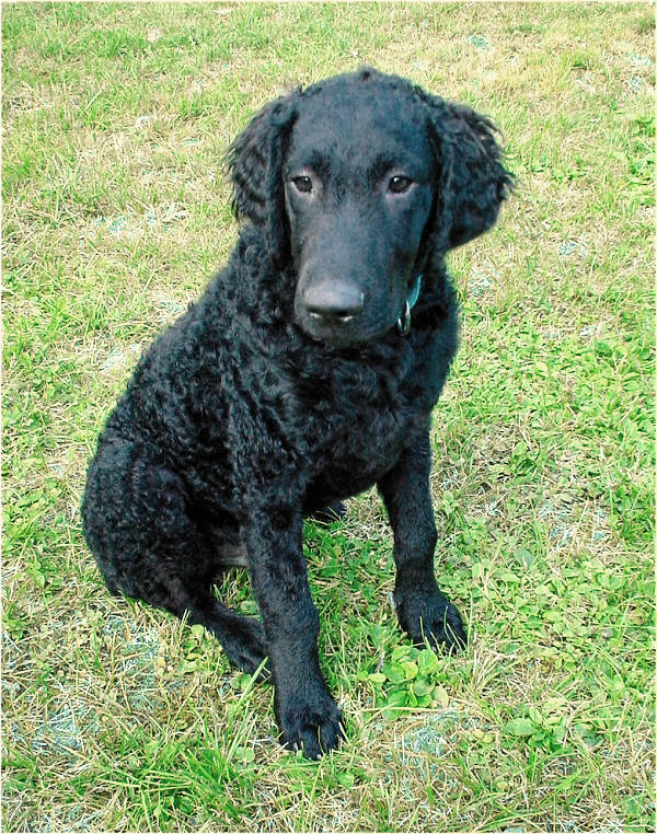 Curly_Coated_Retriever_-_001