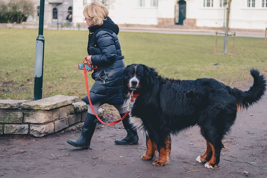 dog-big-dog-mountain-dog-pet