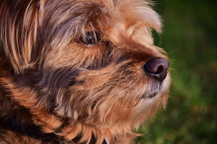 dog-hybrid-hairy-small