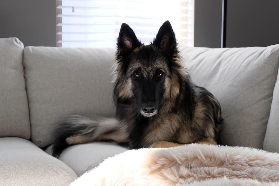 dog-puppy-belgian-shepherd-shepherd