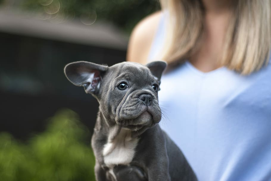 dog-puppy-french-bulldog-bulldog