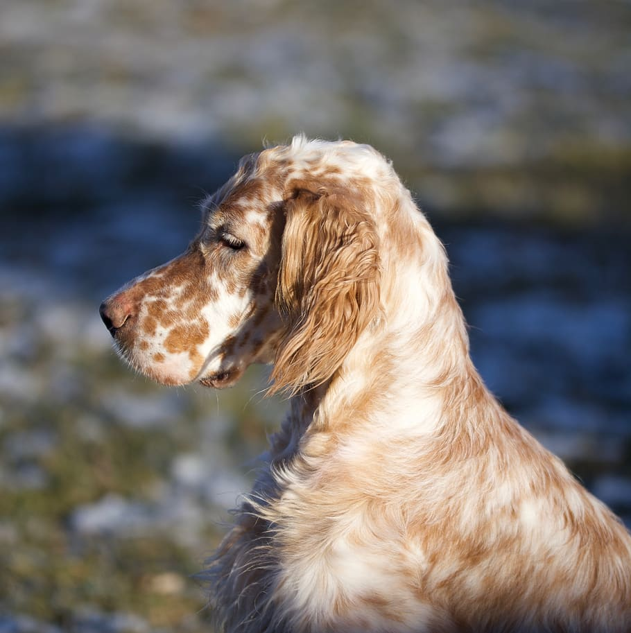dog-setter-portrait-breed