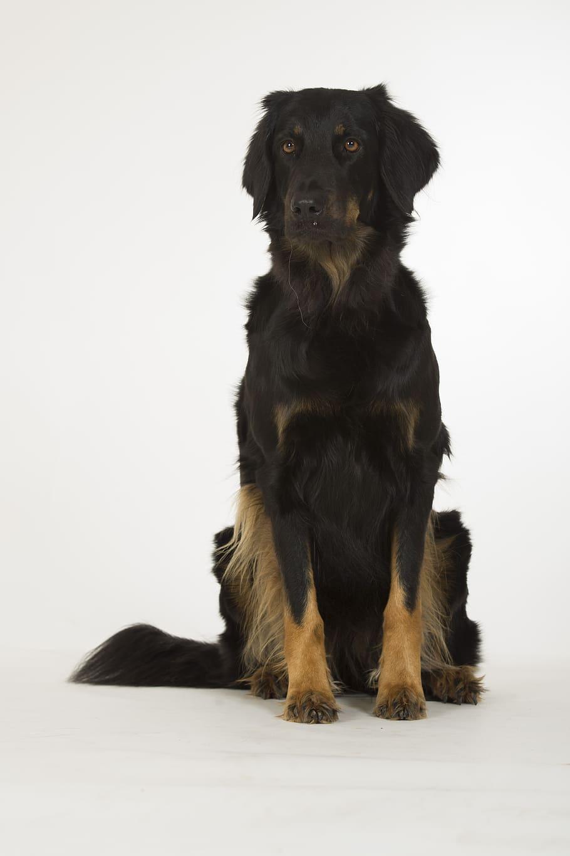 hovawart-dog-black-animal
