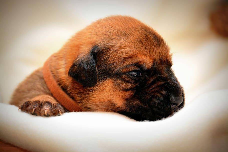 hybrid-puppy-dog-pets