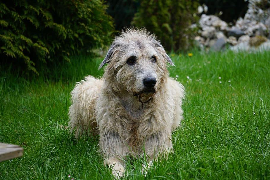irish-wolfhound-dog-wildlife-photography-gentle-giant