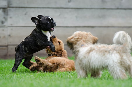playing-puppies-young-dogs-french-bulldog-cocker-spaniel-thumb