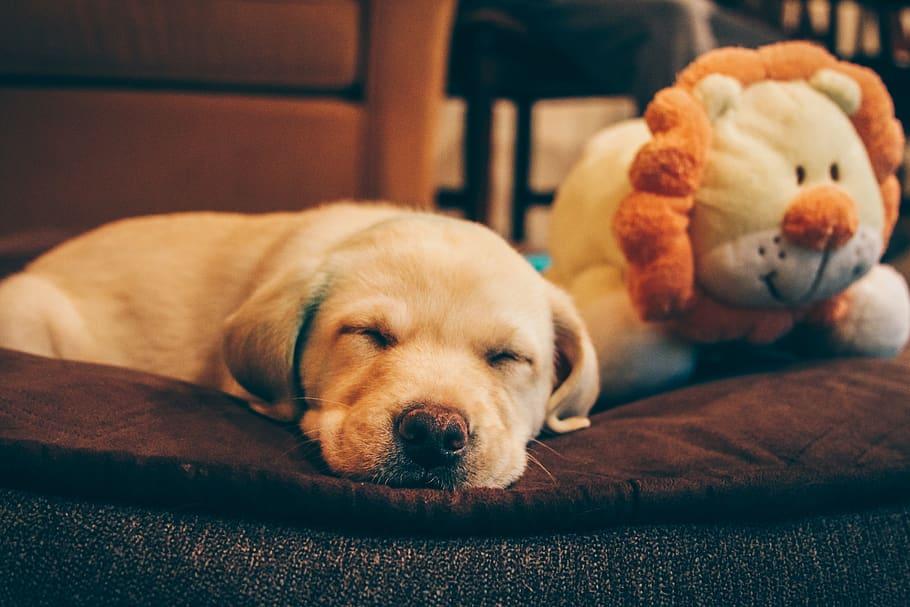 puppy-dog-yellow-lab-lab