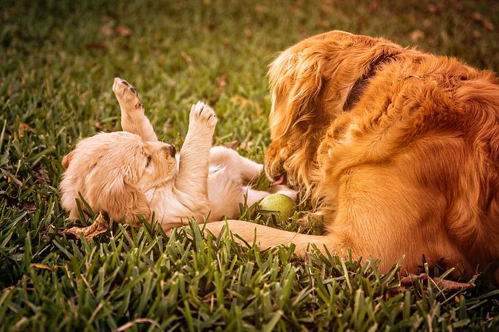 puppy-golden-retriever-dog-golden-preview
