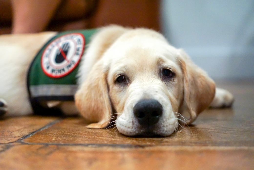 Service_dog_in_training_resting