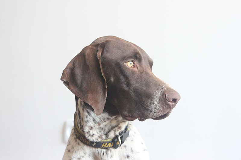 800px-German_shorthaired_pointer_louis