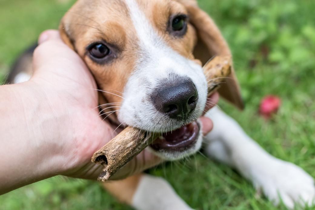 adorable-animal-animal-photography-beagle-452762