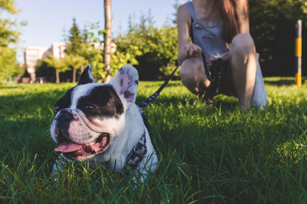 black-and-white-french-bulldog-lying-on-green-grass-171297