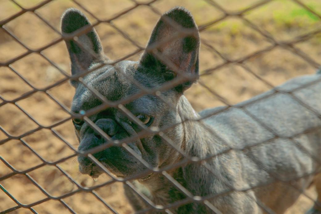 black-pug-behind-brown-metal-fence-3976250