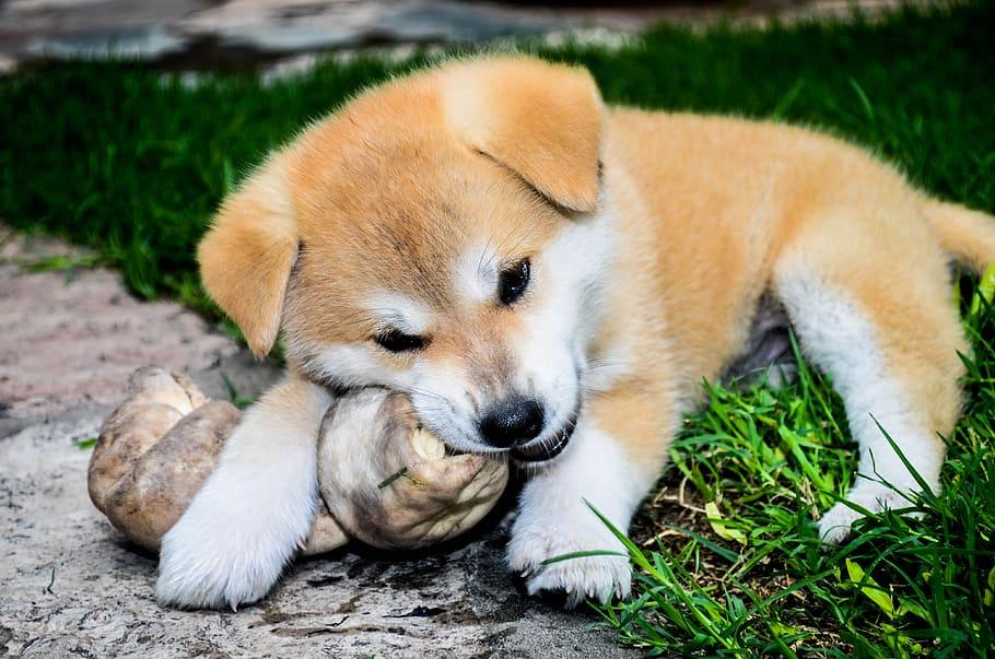 bone-cachorra-female-dogs-akita-inu-pope