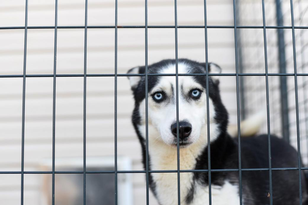 close-up-photo-of-husky-in-a-cage-4054111