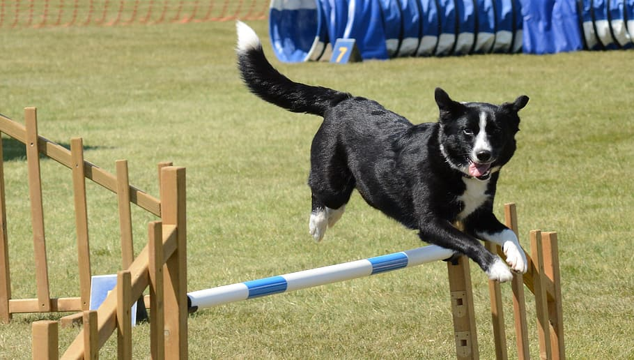 dog-agility-fitness-jump