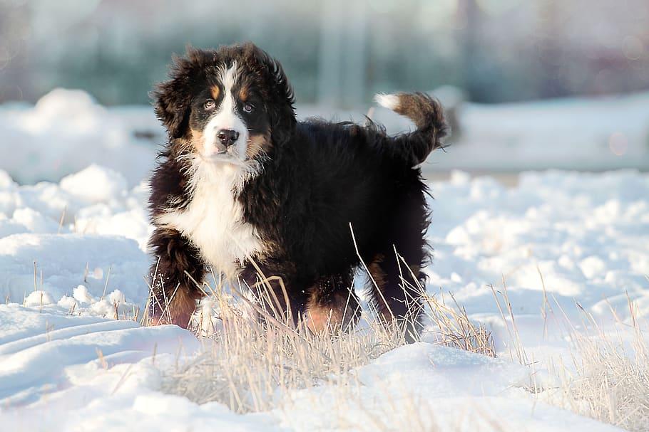 dog-bernese-slašnický-puppy-cute
