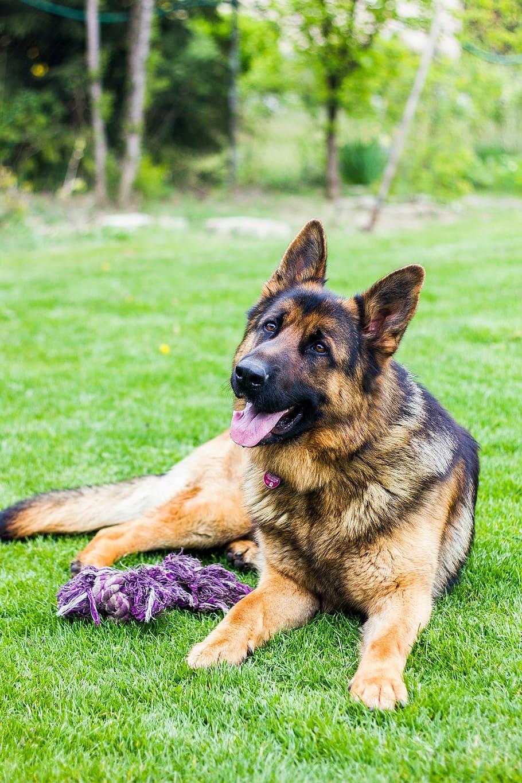 dog-german-shepherd-dogs-animal