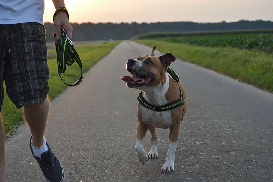dog-pitbull-amstaff-american-staffordshire-terrier